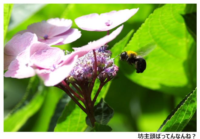 紫陽花-箱崎宮-04.jpg
