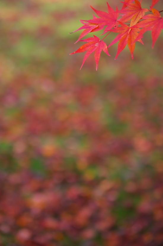 京都の紅葉 120 .jpg